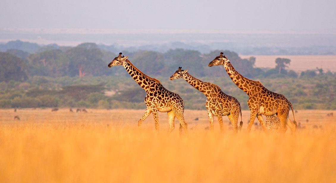 3 Girrafes walking in the wild in Africa
